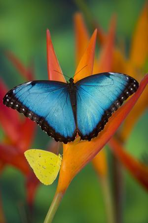 Tropical Butterfly the Blue Morpho on orange Heliconia Flowers