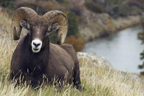 Rams Are Not Goats They Are Sheeps