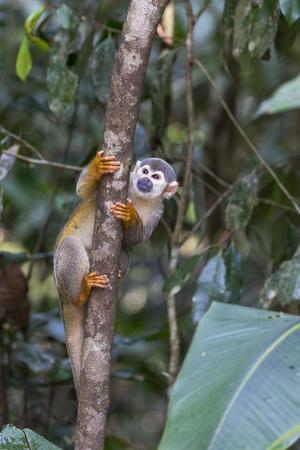 Brazil, Amazon, Manaus, Common Squirrel monkey in the trees.
