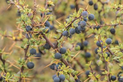 Chile, Patagonia. Calafate berries.