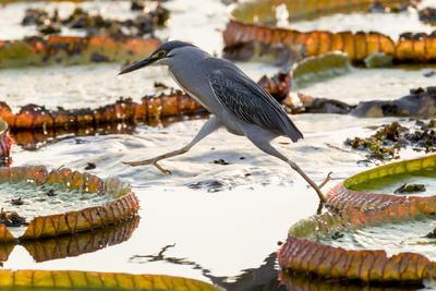 Brazil, The Pantanal, A striated heron steps from one giant lily pad to another.