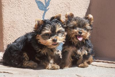 Yorkshire Terrier Puppies sitting