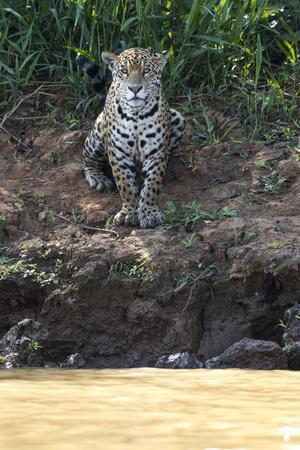 Brazil, The Pantanal, Rio Cuiaba, A female jaguar sits on the river bank watching for prey.