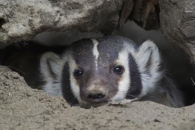 American Badger peeking out of den