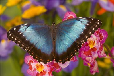 Blue Morpho Butterfly on pink orchid