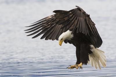 Bald Eagle Alighting
