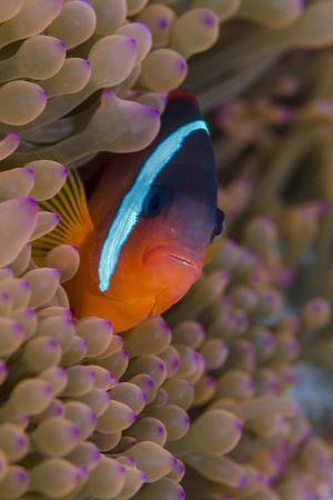 Fiji. Clownfish hiding among sea anemones.