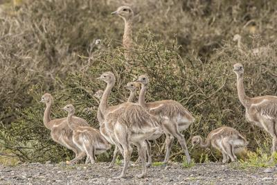 Chile, Patagonia. Male rhea and chicks.