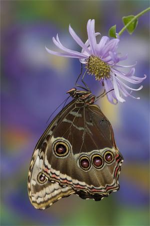 Blue Morpho Butterfly wings closed