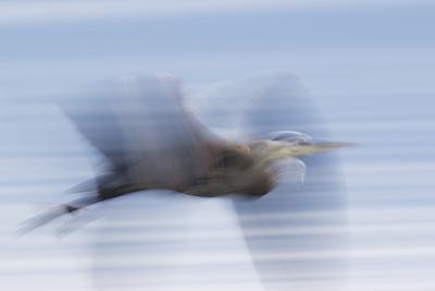 Great Blue Heron, abstract flight