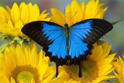 Australian Mountain Blue Swallowtail Butterfly on sunflower