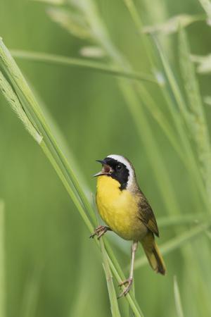Common Yellowthroat Warbler singing