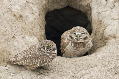 Burrowing Owls at nest entrance