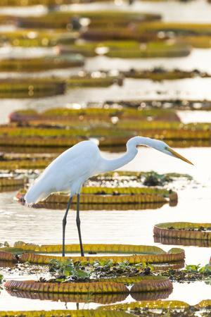 Brazil, The Pantanal, Porto Jofre. Great egret on giant lily pad looking for fish.