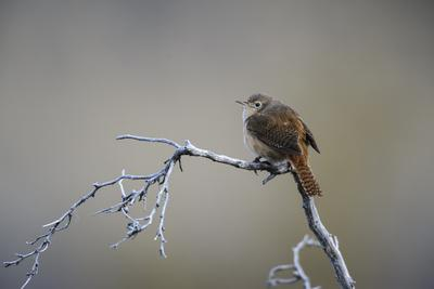Chile, Aysen, Valle Chacabuco. House Wren in Patagonia Park.