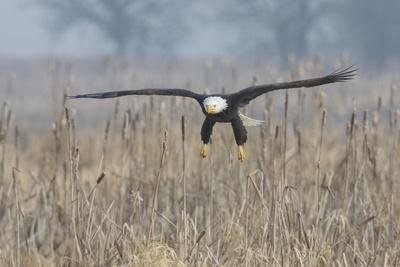 Bald Eagle, foggy wetland marsh