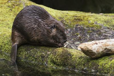 Beaver with cut log
