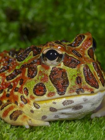 High Red Ornate Pacman Frog, Ceratophrys ornate, controlled conditions