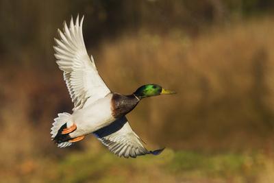 Mallard drake flying