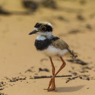 Brazil. A juvenile pied lapwing along the banks of a river in the Pantanal