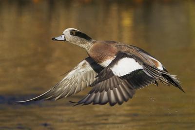 American Wigeon flying