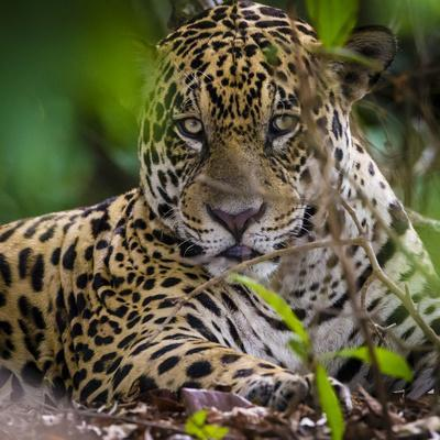 Brazil. A male jaguar resting along the banks of a river in the Pantanal