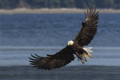 Bald Eagle, Preparing to strike