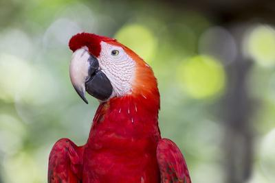 South America, Brazil, Amazon, Manaus, Headshot of a scarlet macaw.
