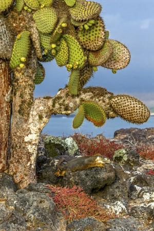 Galapagos Islands, Ecuador, Galapagos land iguana