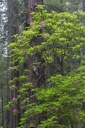 California, Del Norte Coast Redwoods State Park, Redwood trees and rhododendrons