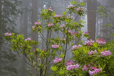 California, Redwood National Park, Lady Bird Johnson Grove, redwood trees with rhododendrons