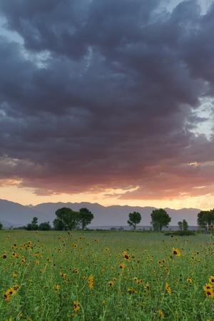 USA, California, Sierra Nevada Mountains. Sunflowers in Owens Valley at sunset.