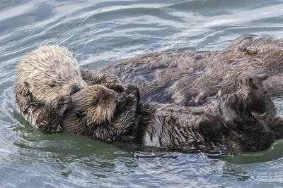 USA, California, San Luis Obispo County. Sea otter mother and pup grooming.