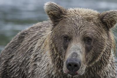 USA, Alaska, Katmai National Park of Grizzly Bear.