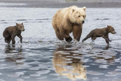Coastal Grizzly bear mother and cubs run across mud flat, Lake Clark National Park, Alaska.