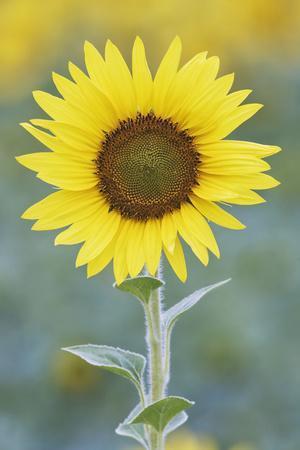 USA, California, Napa Valley of sunflower.