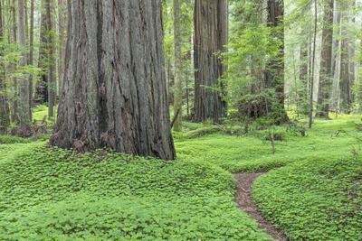 USA, California, Humboldt Redwoods State Park. Redwood tree scenic.