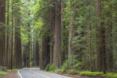 USA, California, Humboldt Redwoods State Park. Road through redwood forest.