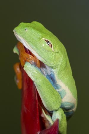 Red-eyed tree frog showing extra eyelid