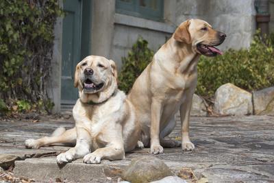 Yellow Labrador Retrievers sitting on rock patio
