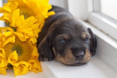 Doxen Puppy with sunflower