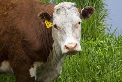 Idaho, Grangeville, White Faced Steer in Field