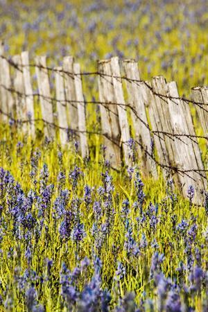USA, Idaho, Fairfield, Camas Prairie, Creek and fence in the Camas Prairie