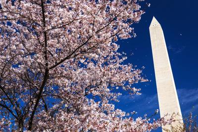 Cherry blossoms under the Washington Monument, Washington DC, USA