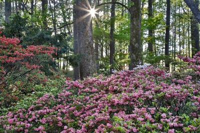 USA, Georgia, Sunburst and Azaleas