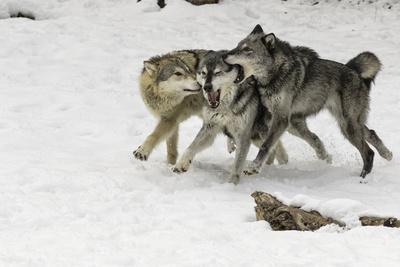 Gray Wolf pack behavior in winter, Montana