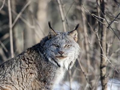 USA, Minnesota, Sandstone. Lynx in the woods
