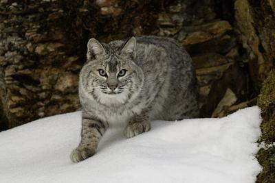 Bobcat in snow, Montana