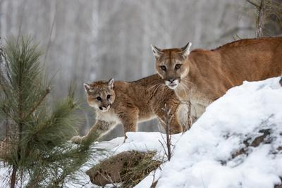 USA, Minnesota, Sandstone. Mother and baby cougar