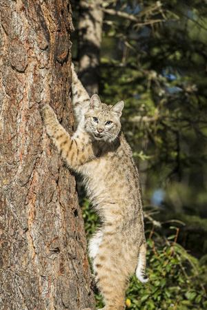 Bobcat profile, climbing tree, Montana
